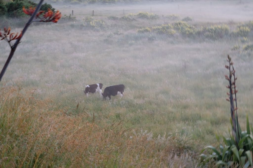 2 black and white steers grazing in a misty paddock with flax spears in the foreground.
