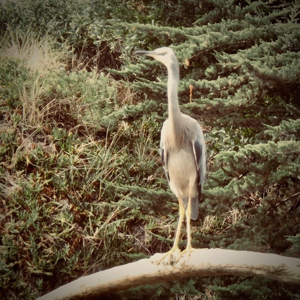 White-faced Heron, Matuku Moana.
