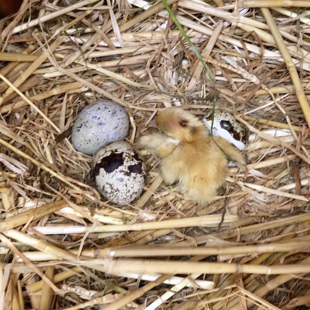 Quail egg with broken shell and tiny yellow chick just hatched.