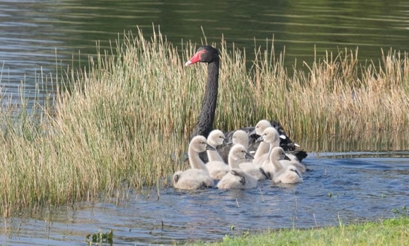 Black swans and cygnets 20180724.
