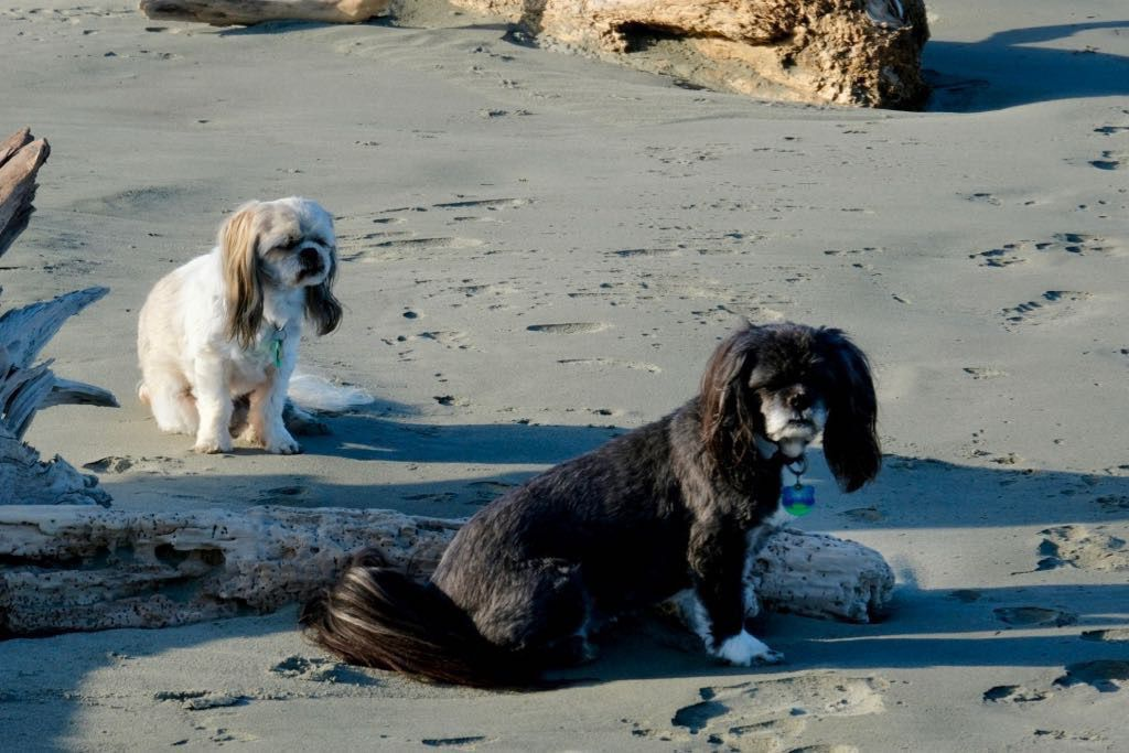 Two small dogs sitting on the beach waiting.