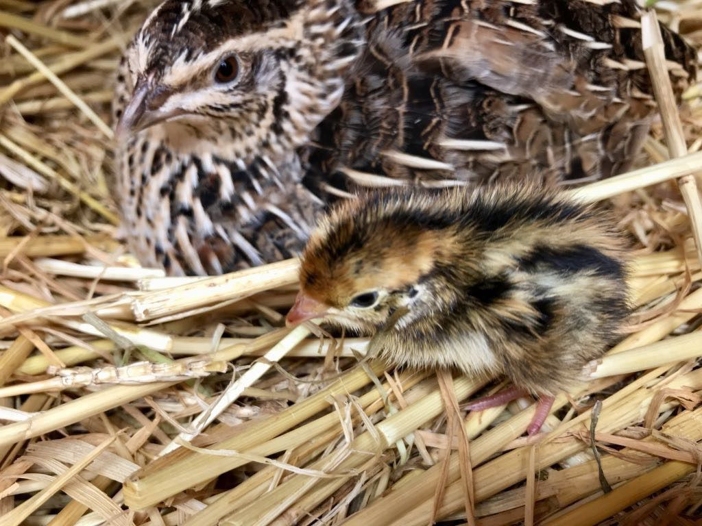 Adult quail and baby chick.