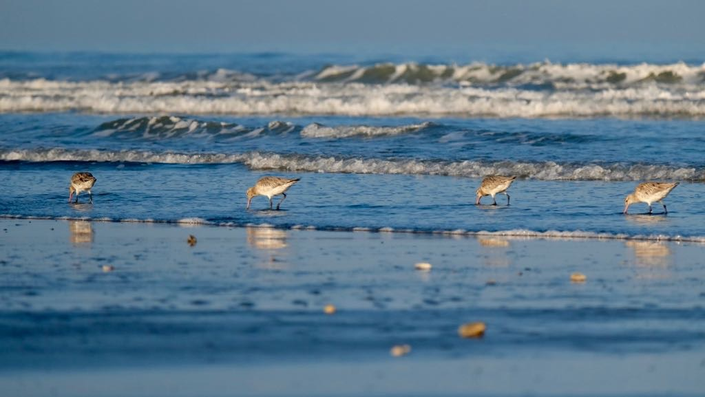 4 godwits at the edge of the sea.