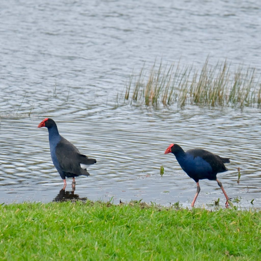 Two adult pūkeko: blue wading birds with red beaks.