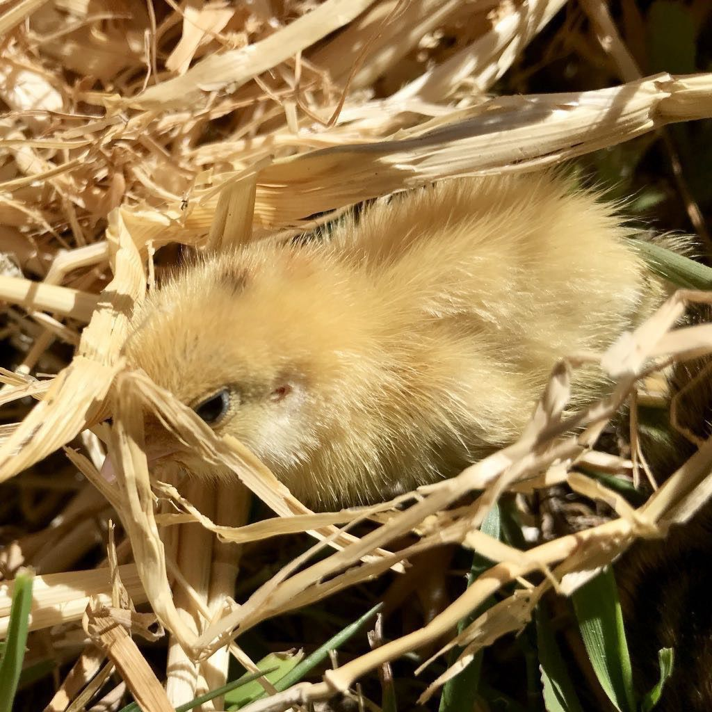 Yellow quail chick in straw.