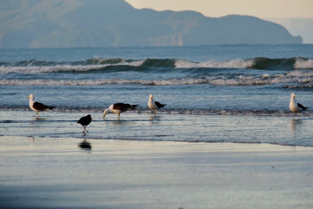 Black-backed gulls and an oystercatcher on the wet sand with Kāpiti Island in the background.