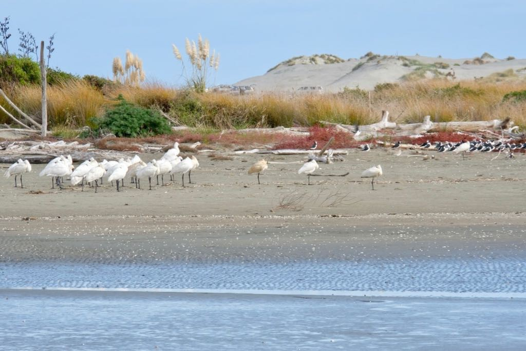 Royal Spoonbills on the left amd Pied Stilts on the right.