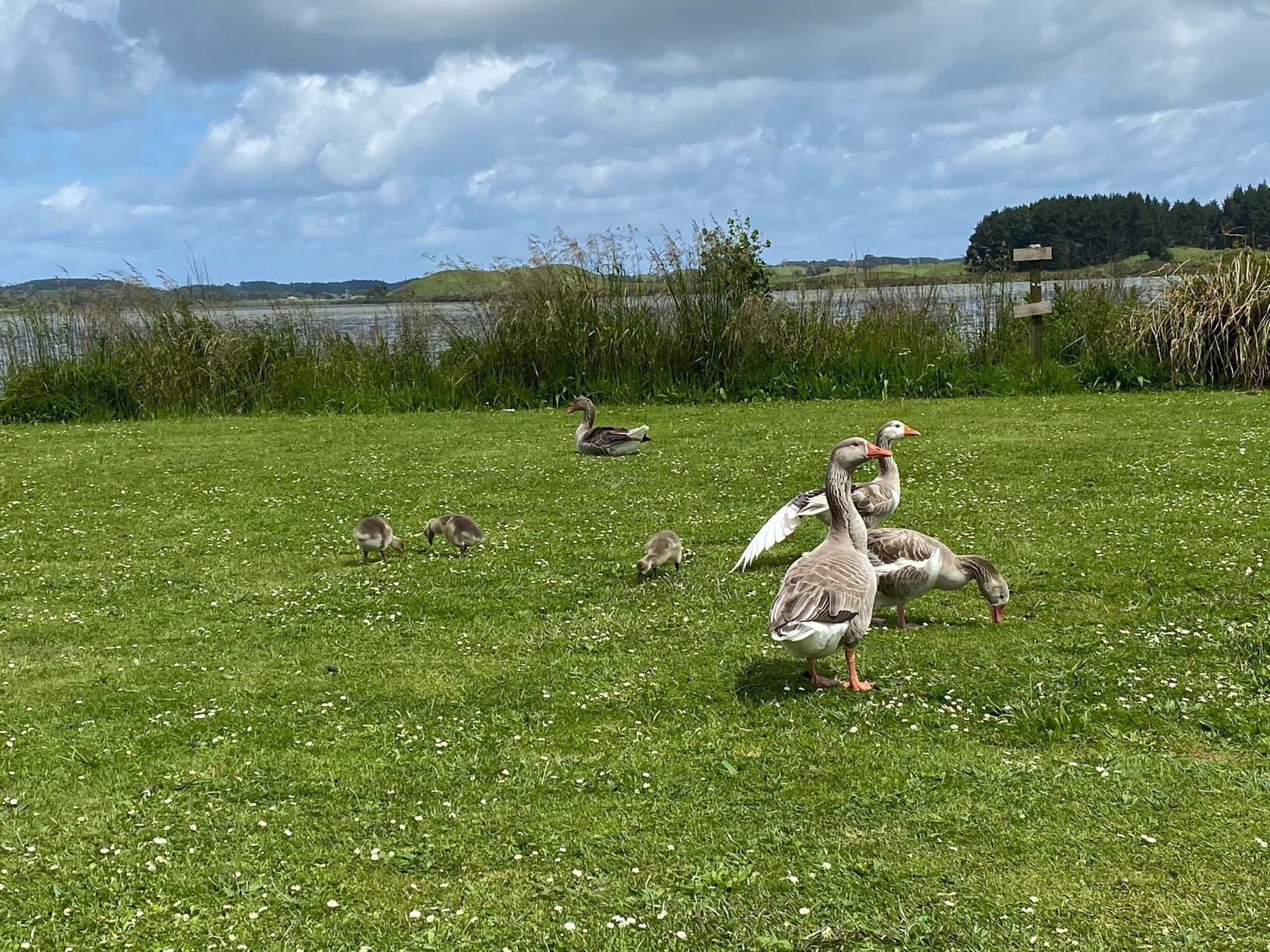 Brown and white geese with some cygnets, feeding.