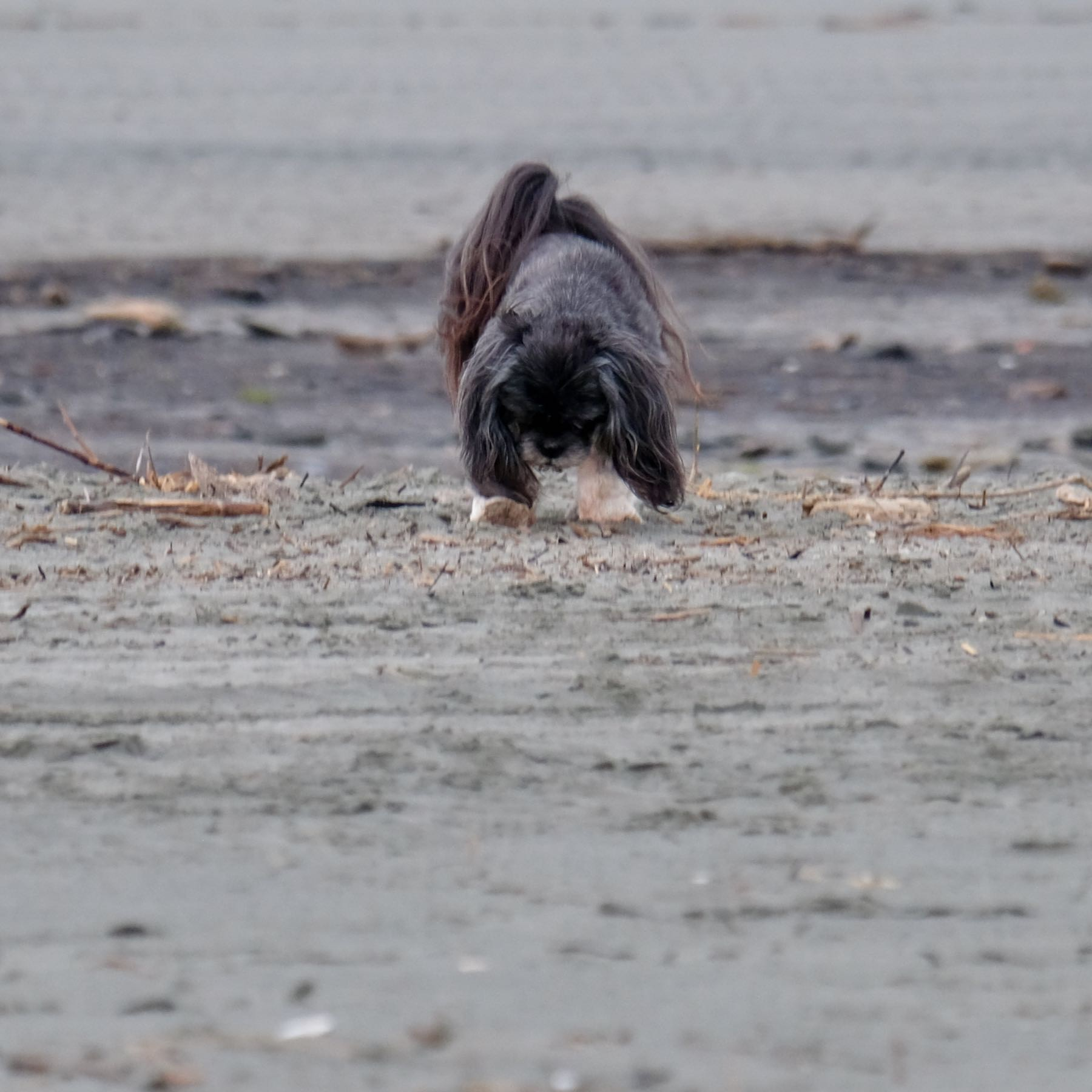 Small black dog looking down at the sand.