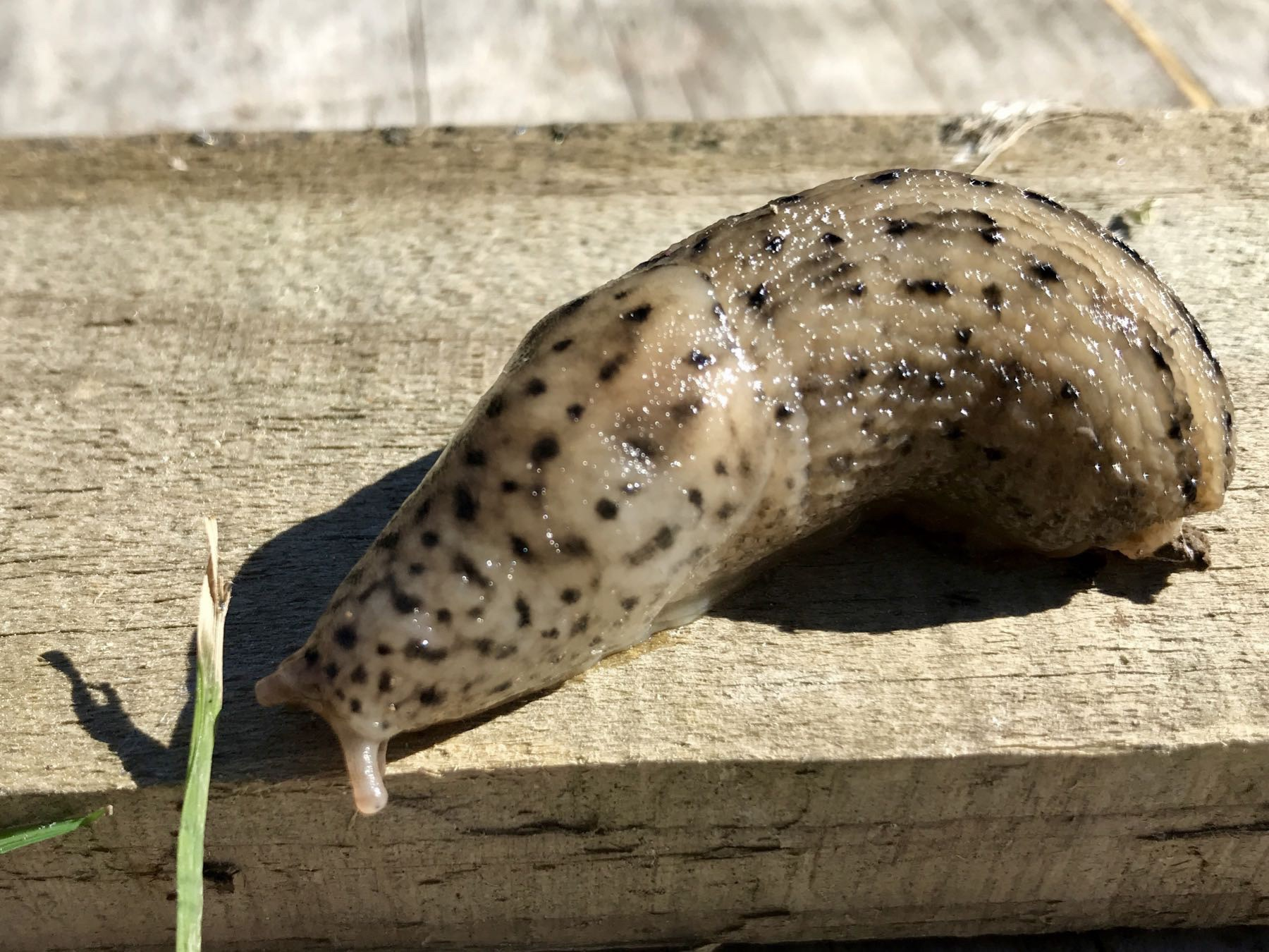 Fat pale brown slug with black spots and dots.