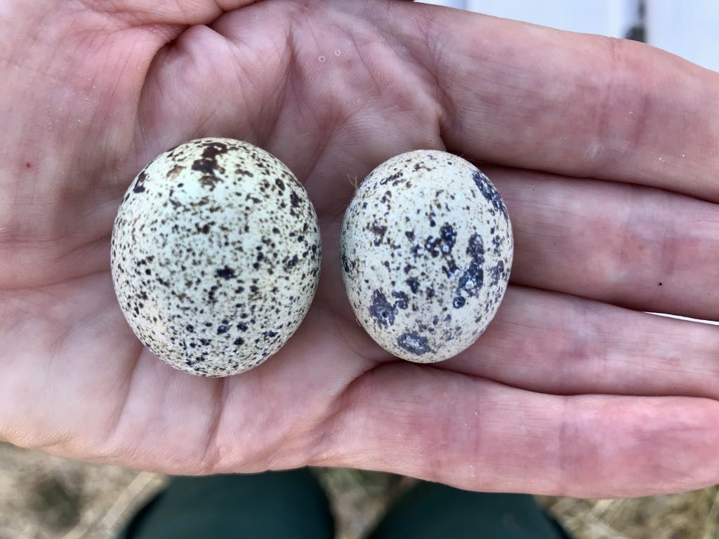 Big quail egg on the left, very small egg on the right.