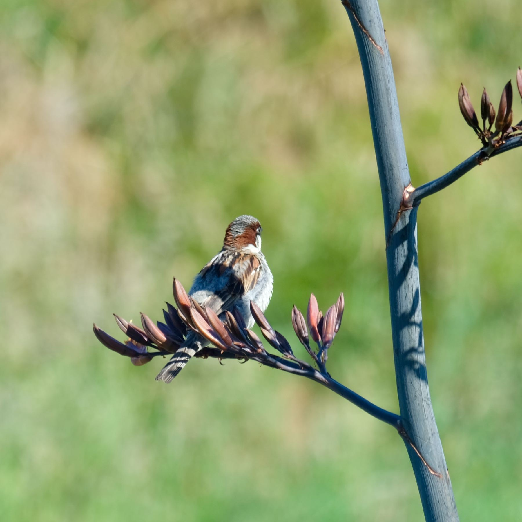 Sparrow sitting on a flax flower, turned away from the camera.