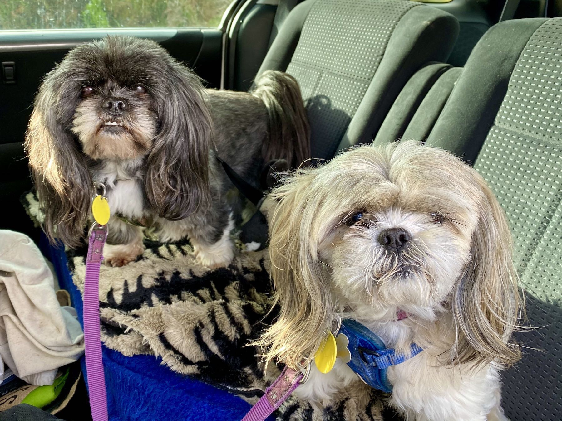 Two shaggy pooches in a car.