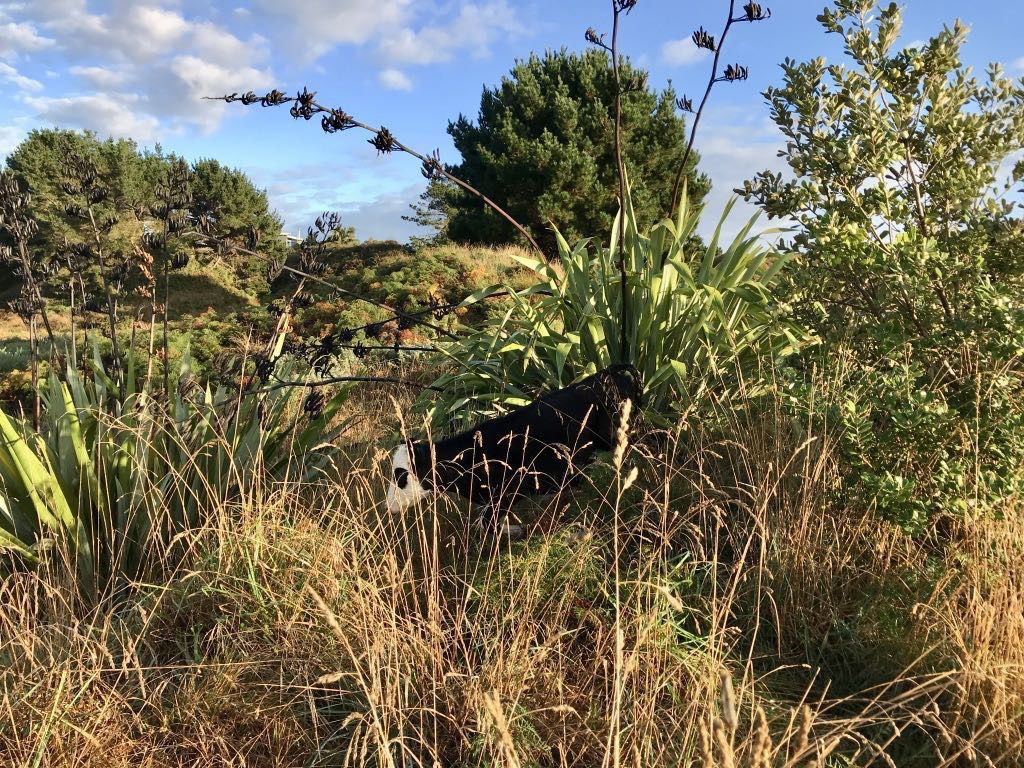 Black and white steer almost hidden in long grass and bushes.