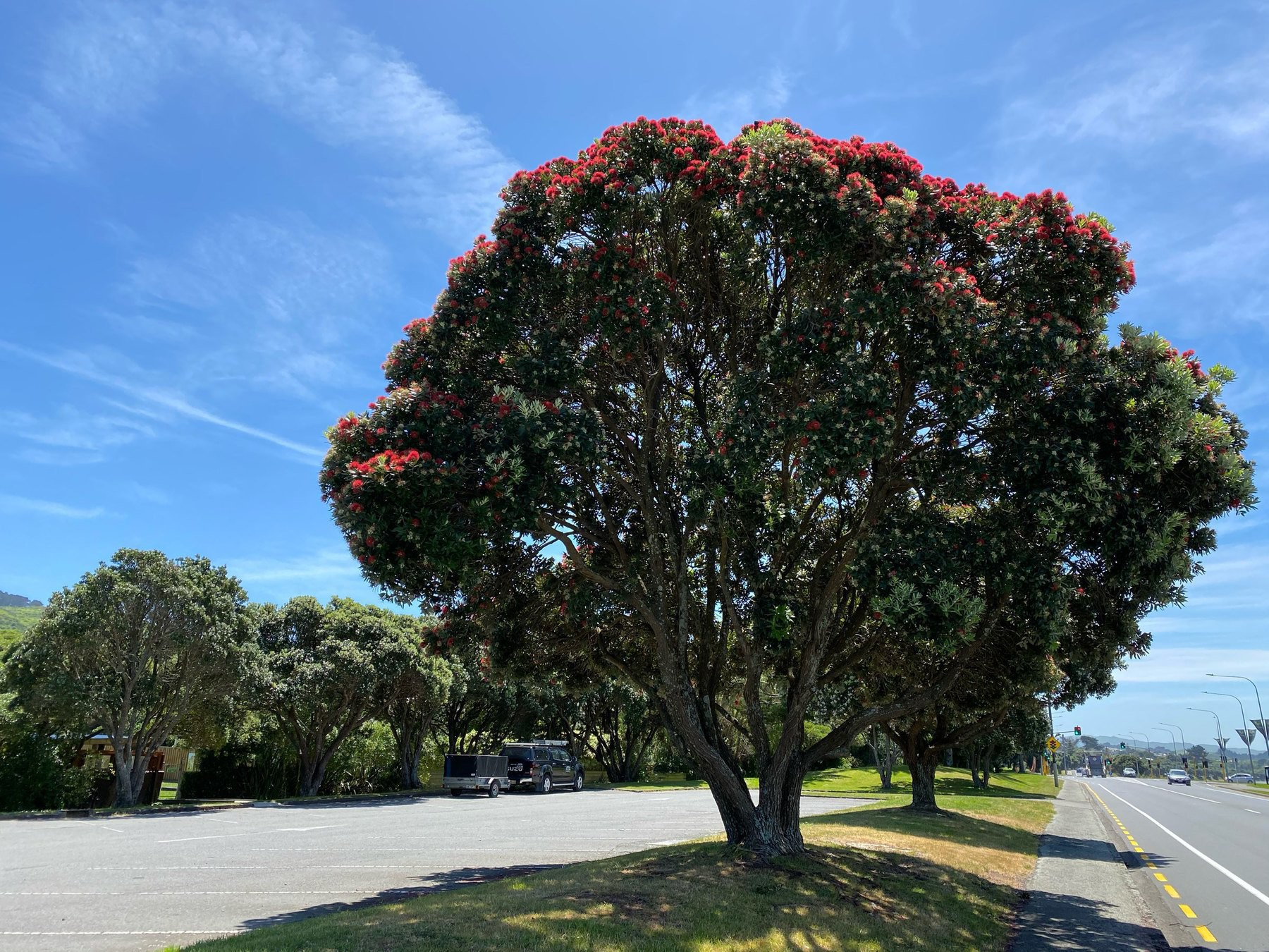Large tree with red blooms.