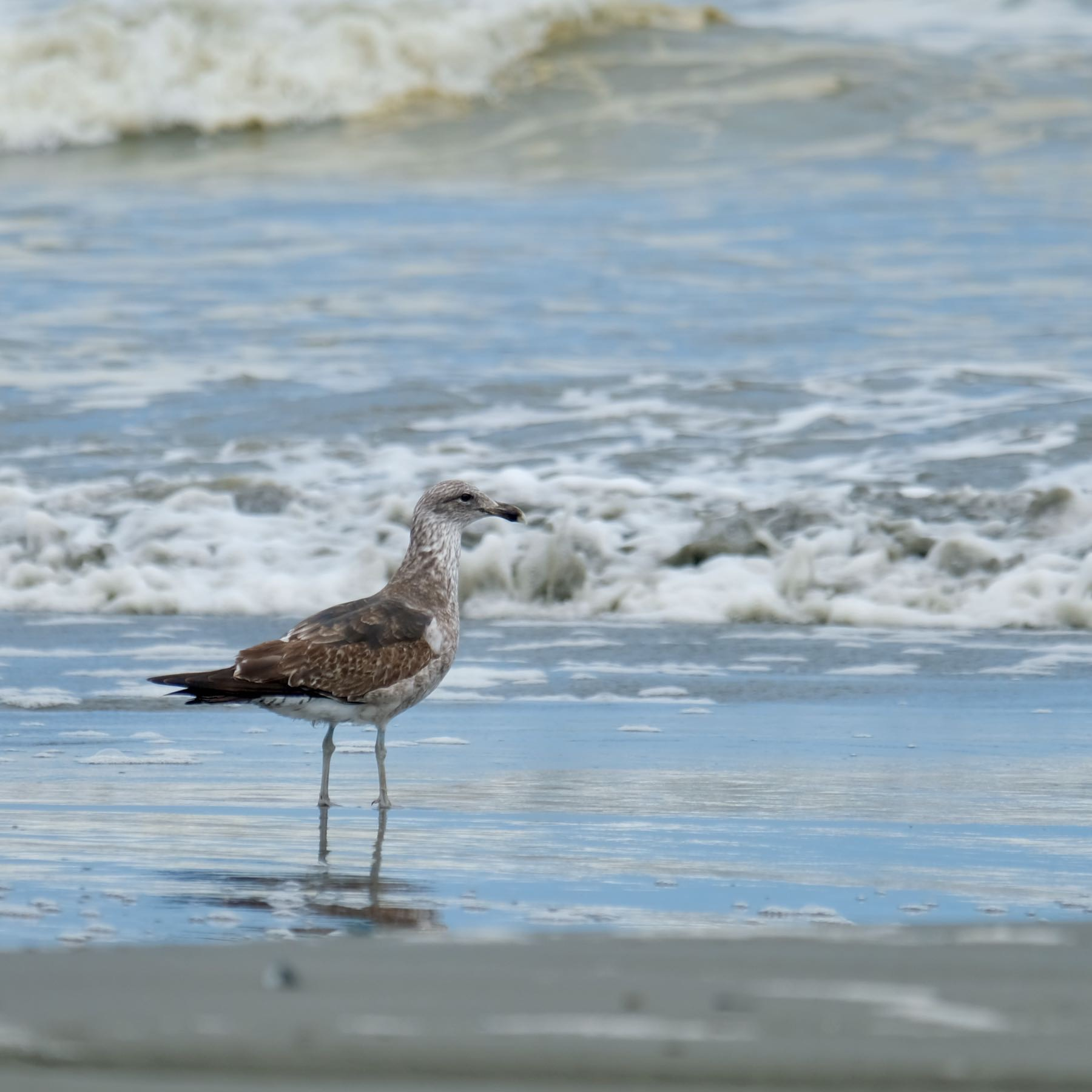 A single brown and spotted gull at the water's edge on the beach.