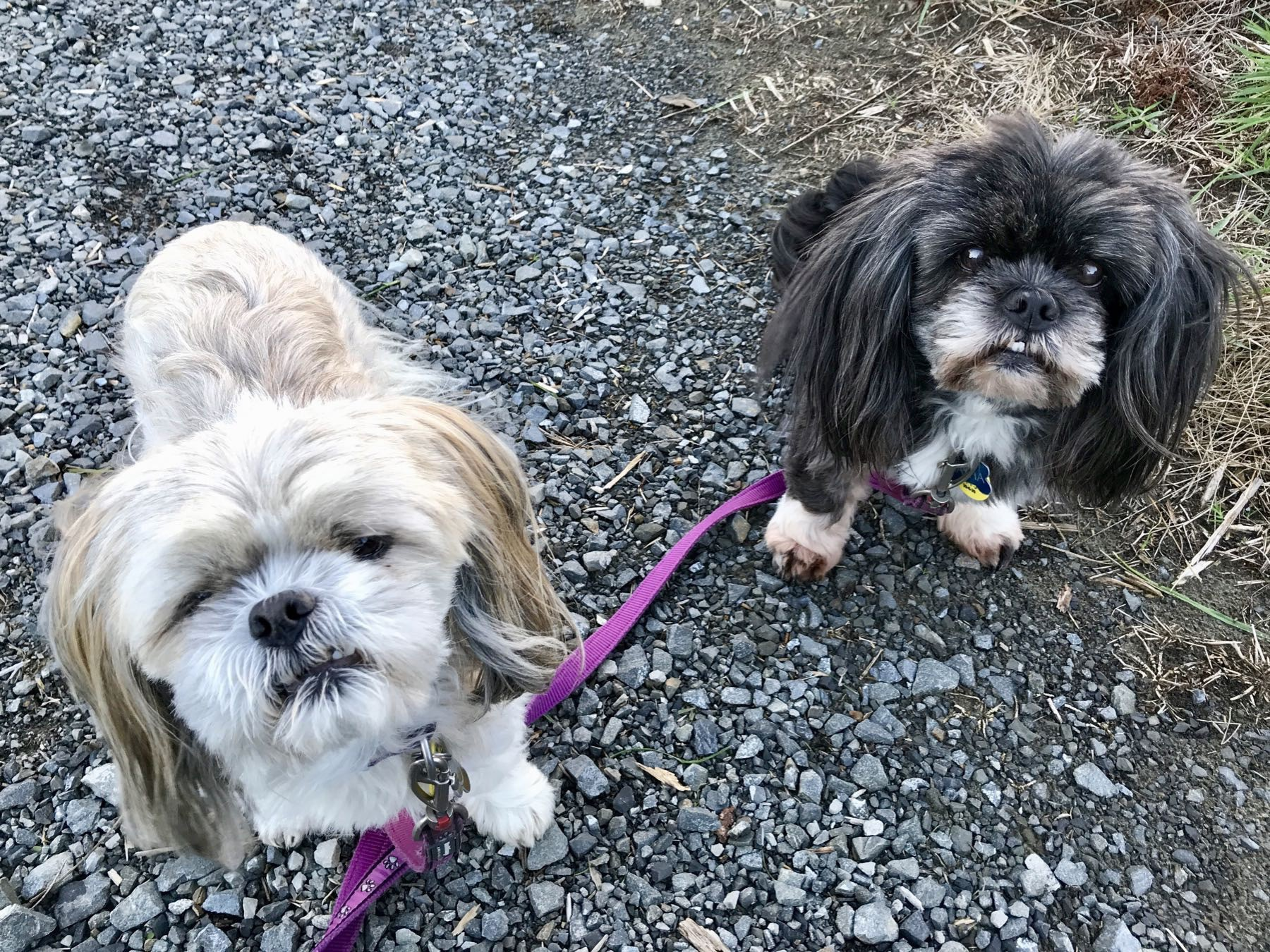 Two small shaggy dogs on a shingle path.