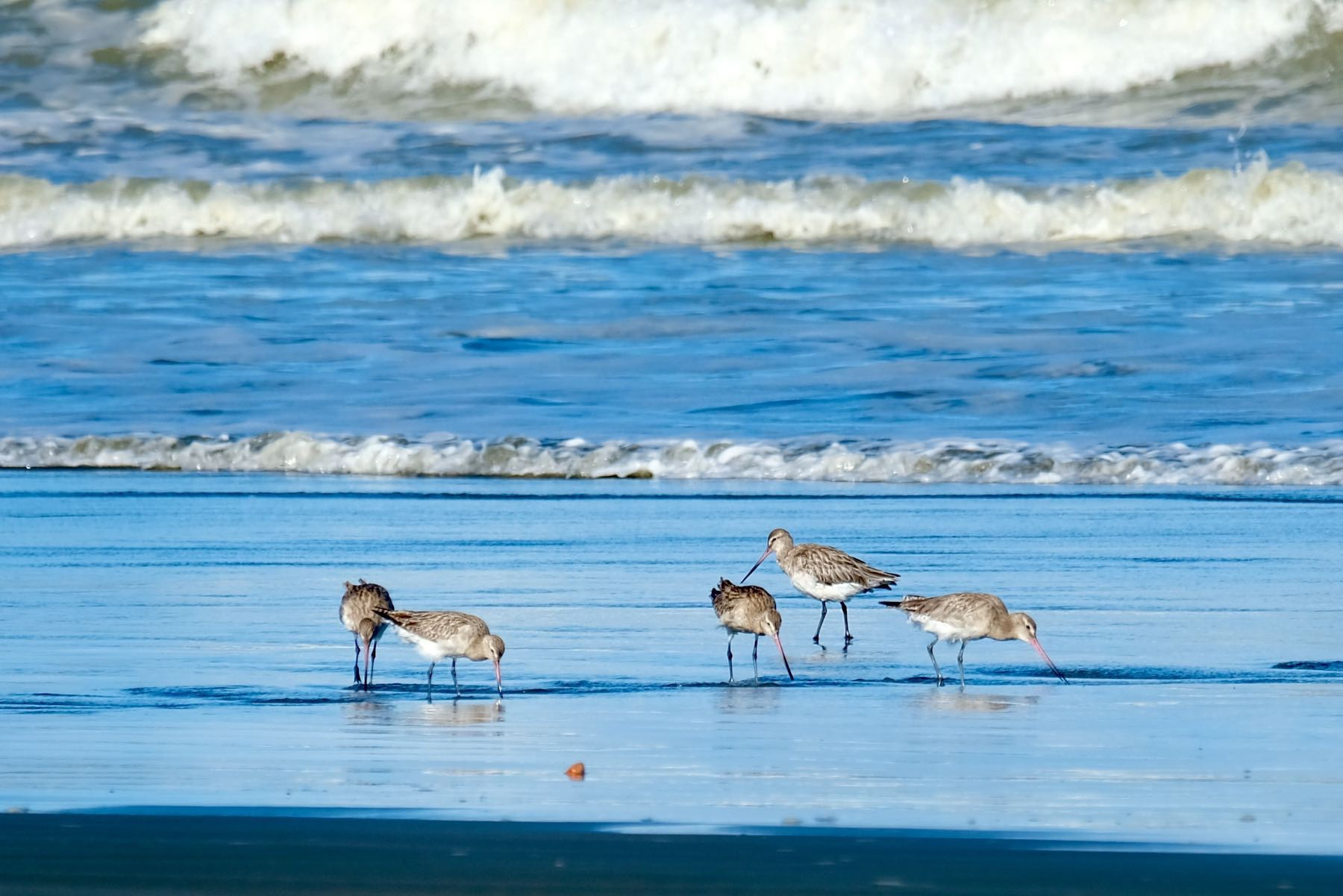 5 godwits at the edge of the sea.