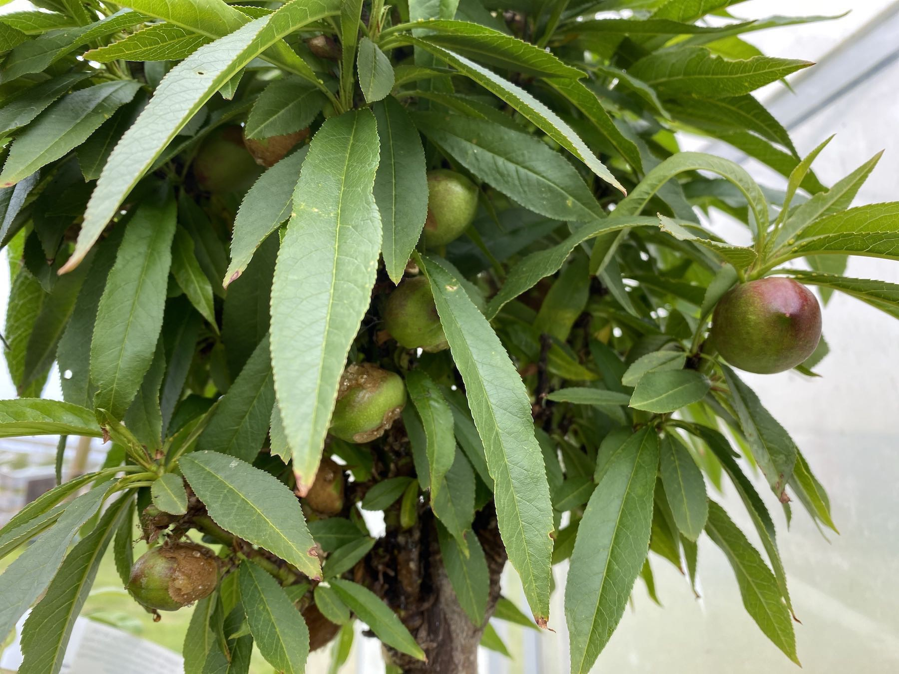 Fruit hanging on a young dwarf nectarine tree.