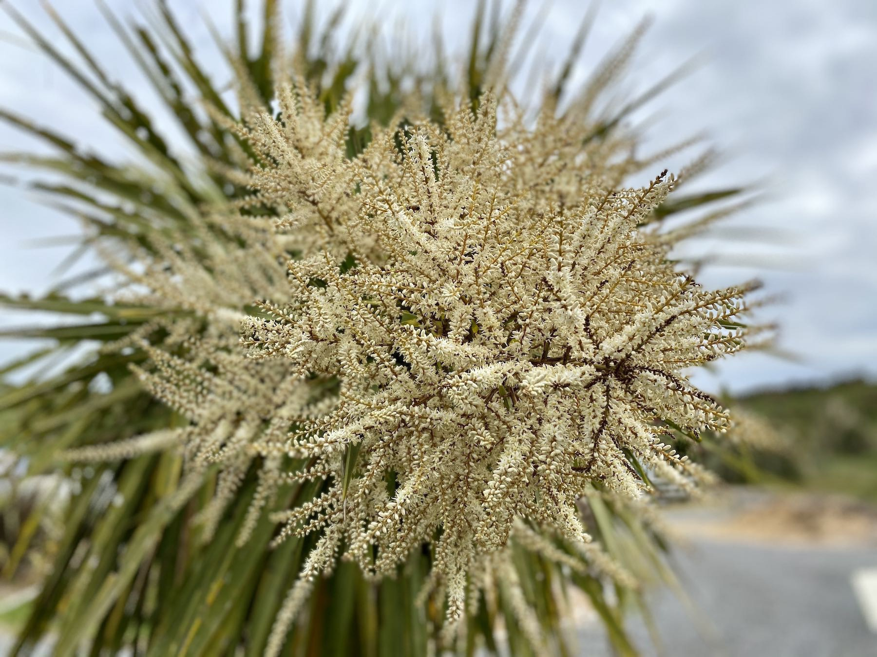 The cream coloured panicles of cabbage trees, with bees if you look closely enough.