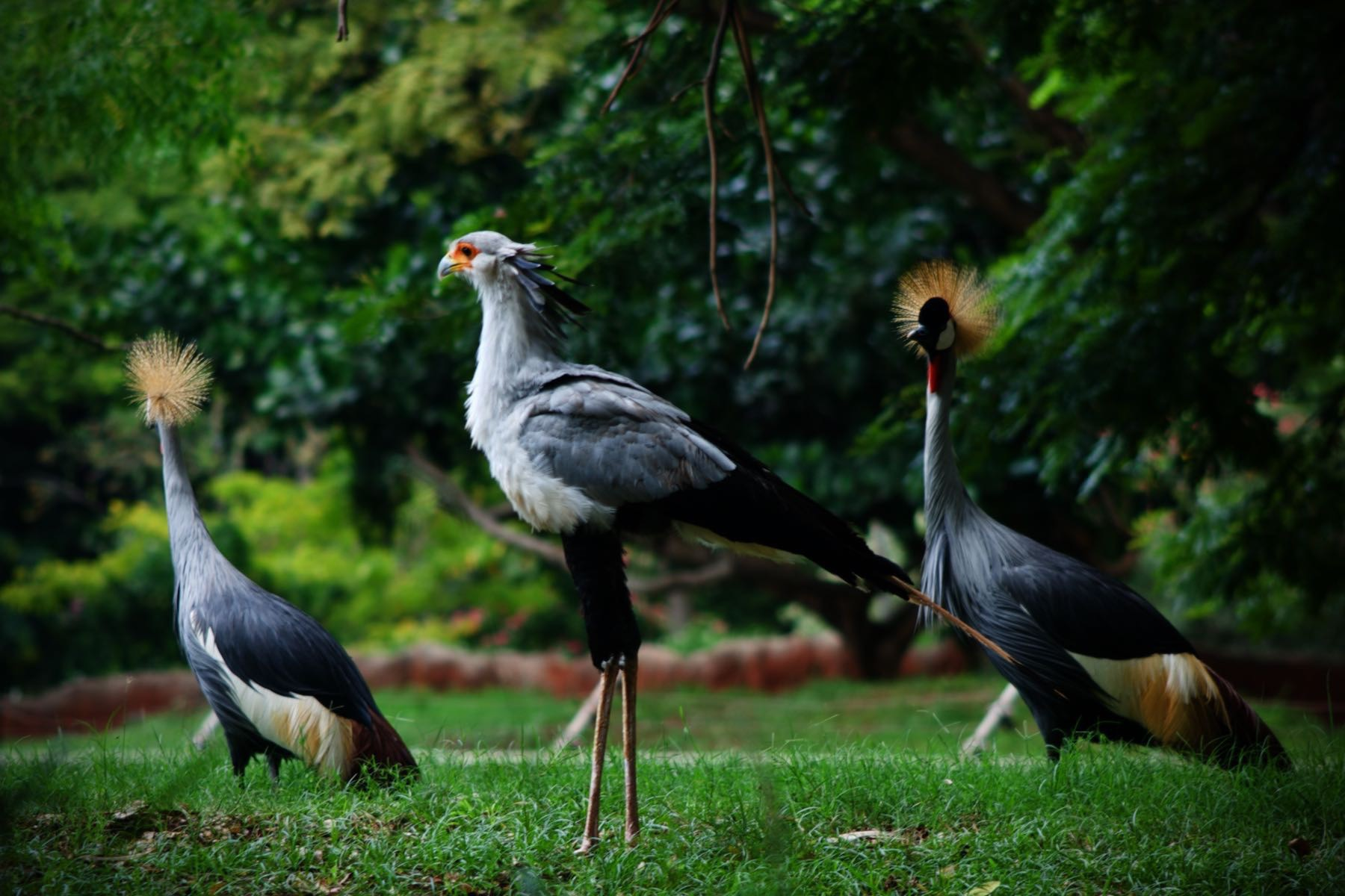 Secretary bird and Crowned Cranes.