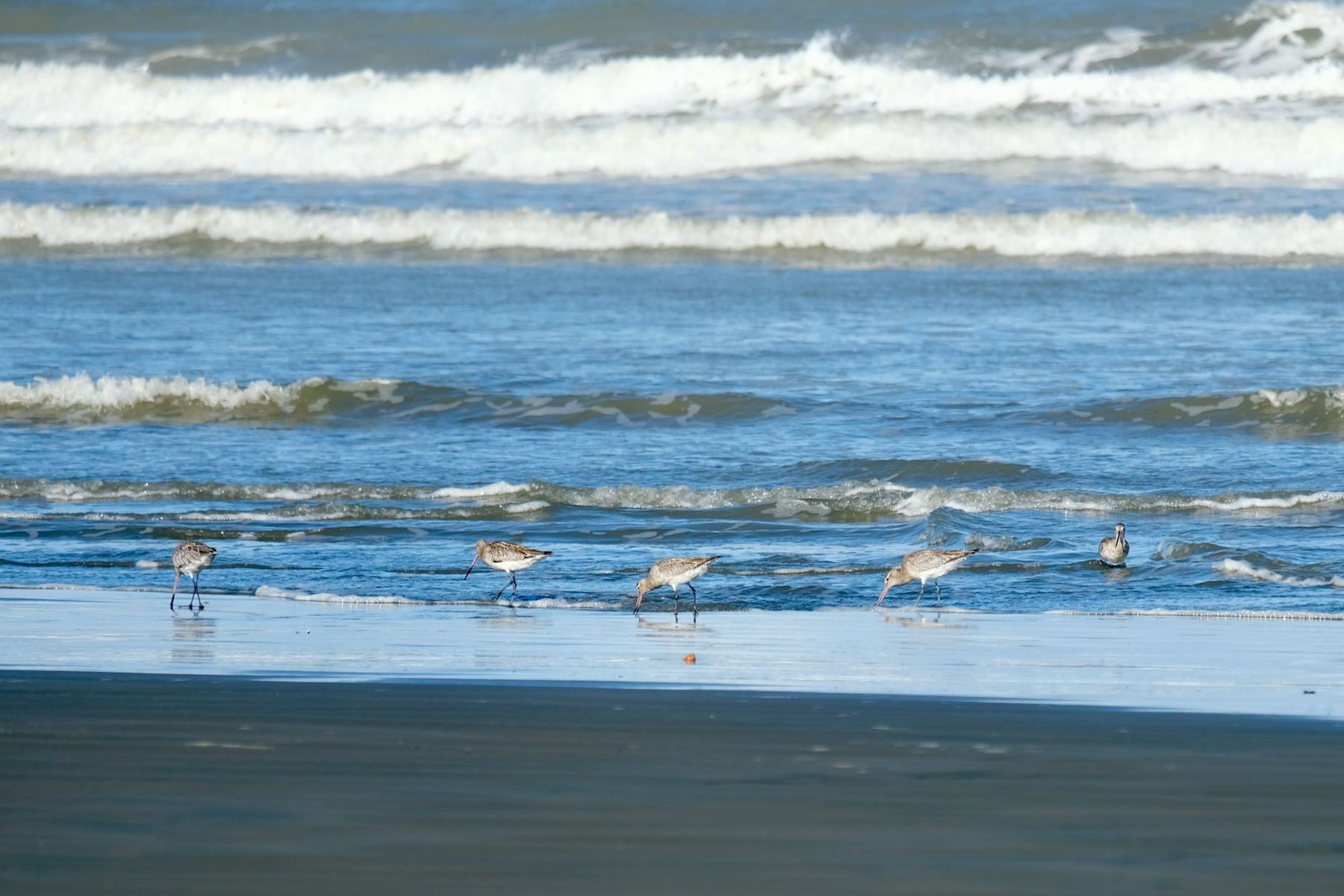 5 godwits at the edge of the sea, with water lapping round their legs.