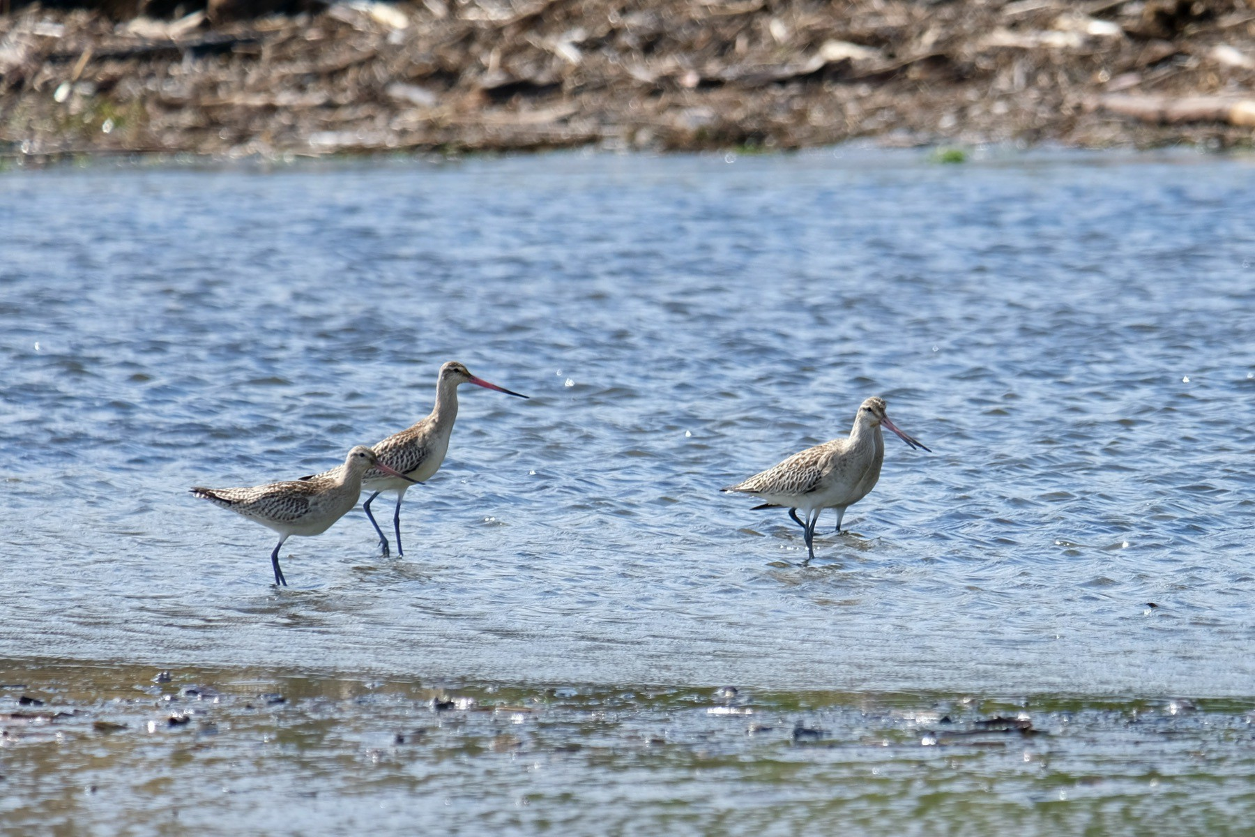 Four godwits wading in the estuary.