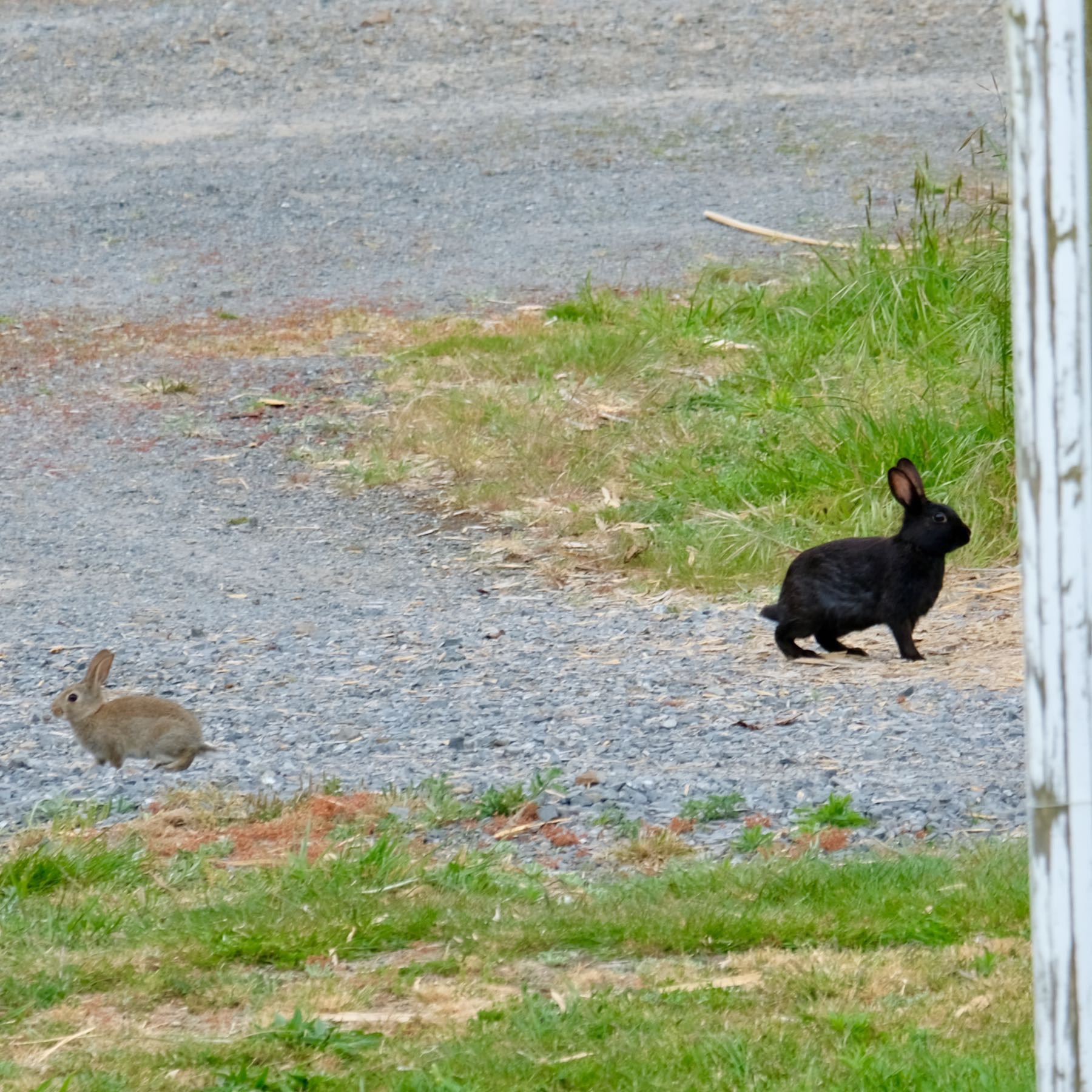 Brown baby rabbit and adult black rabbit going in opposite directions.