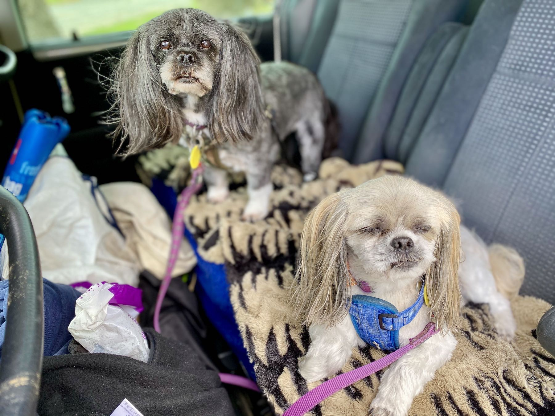 Two trim and tidy dogs in a car.