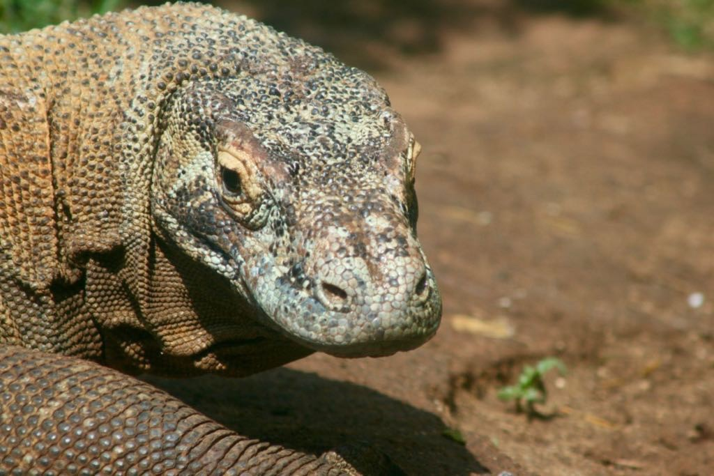 Komodo Dragon head - looking towards the camera.