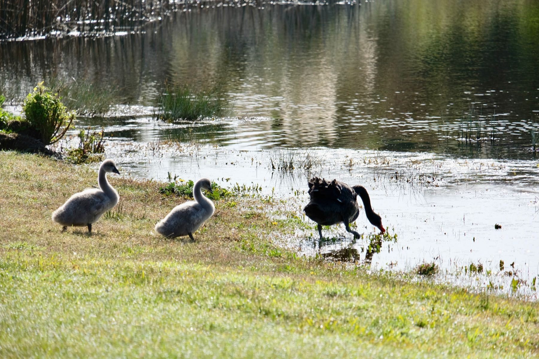 Black swan and two grey cygnets, about to enter a small lake.
