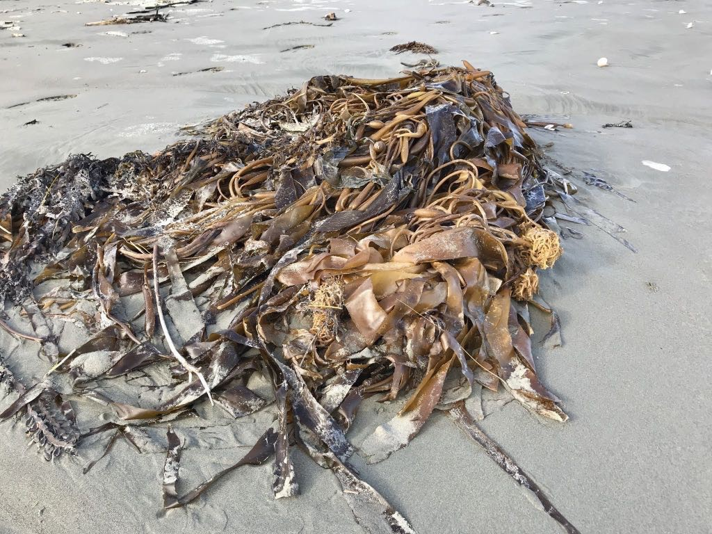 A large clump of seaweed on the beach.