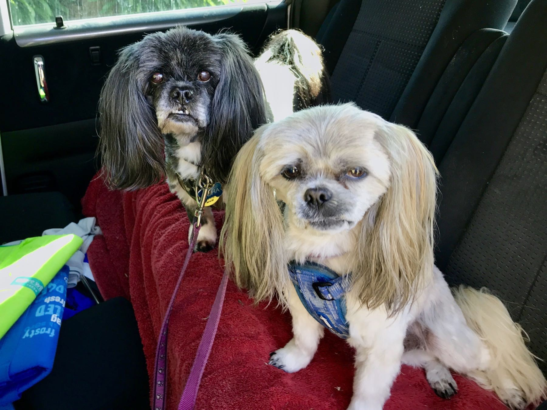 Two small well-groomed dogs in a car.
