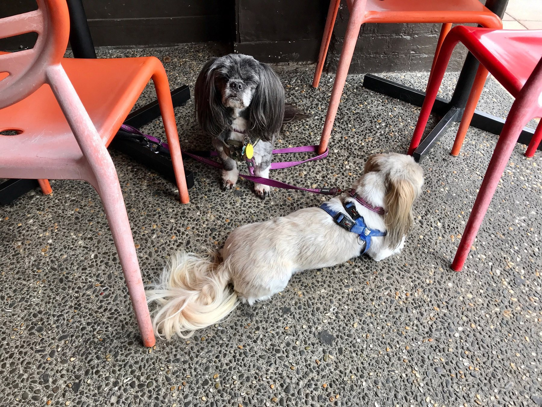 Two small dogs tied to cafe chairs.