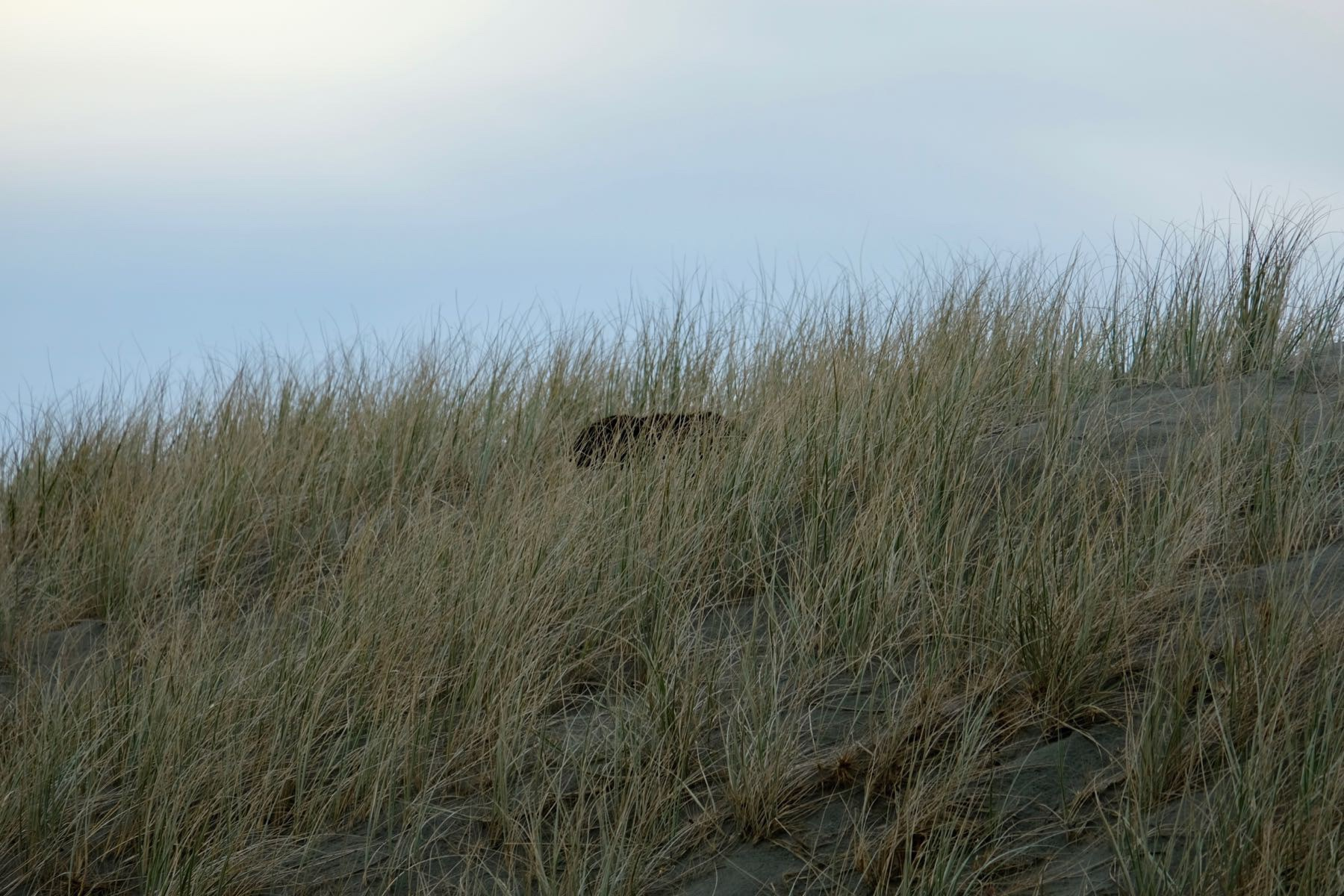 Dog-like shape emerging from the marram grass on the dunes.