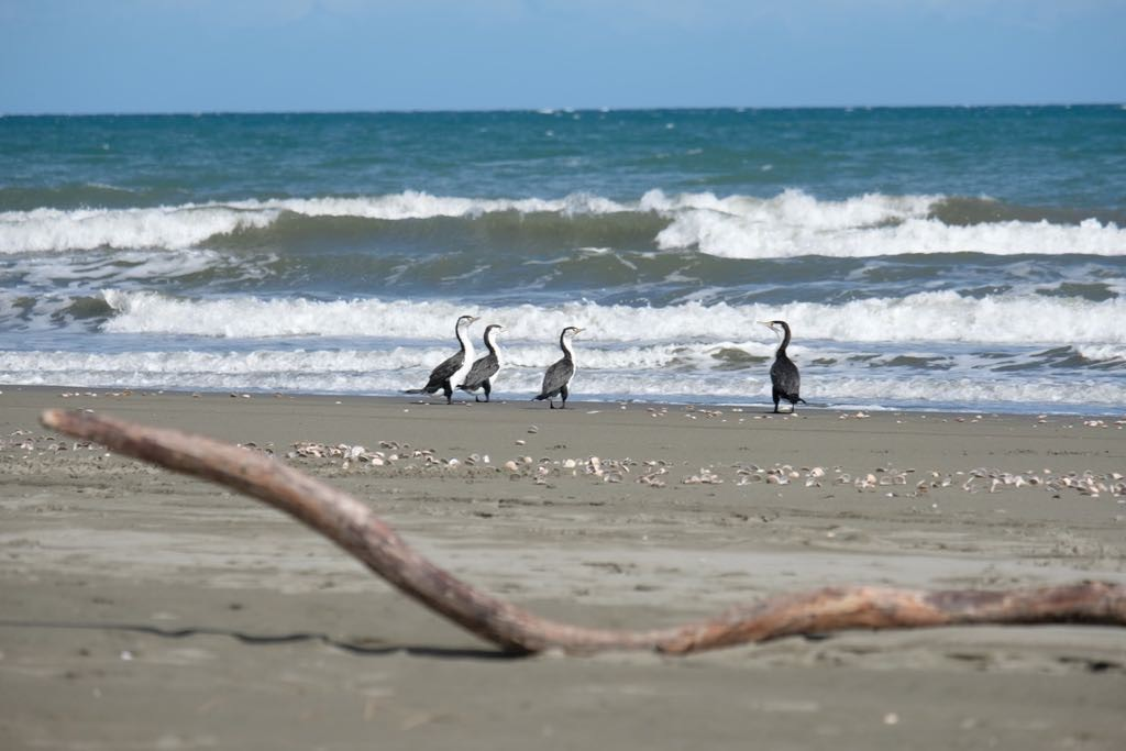 4 Pied shags at the sea's edge with backs to the camera and a driftwood log in front.