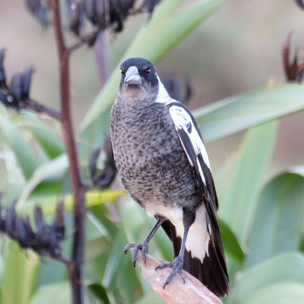 Magpie in front of a flax bush. Facing the camera.