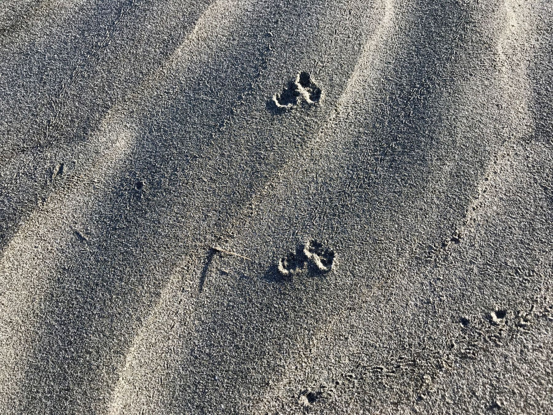 Tiny tracks in the sand at the beach - perhaps a hedgehog or weasel.