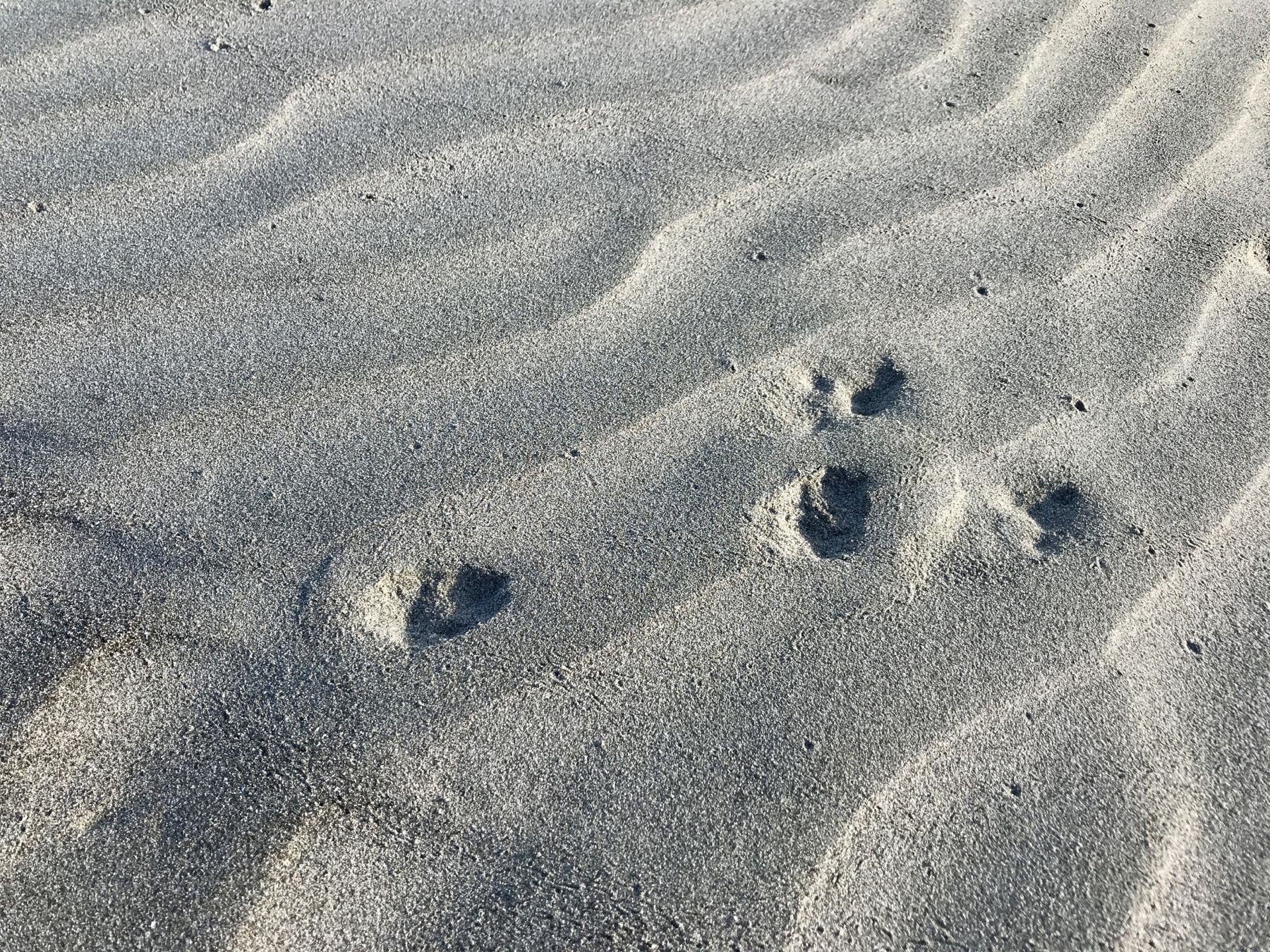 Tracks in the sand at the beach - probably a rabbit.
