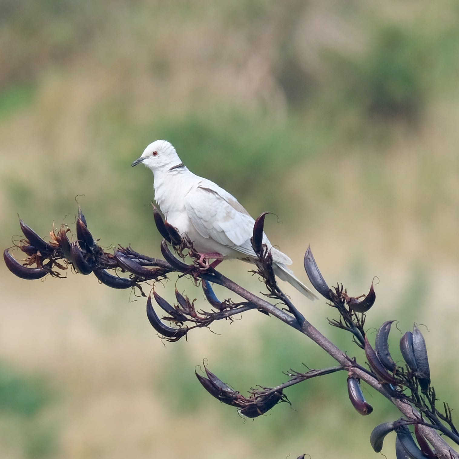 White dove on a flax spear. The dove has a black band of feathers on its neck.