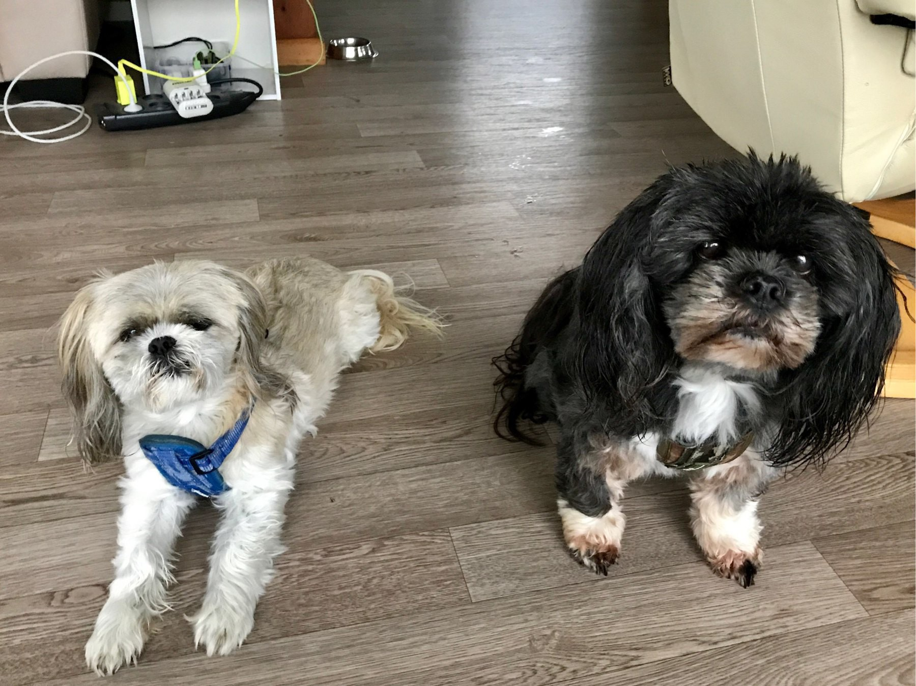 small black and white dogs with shaggy hair.
