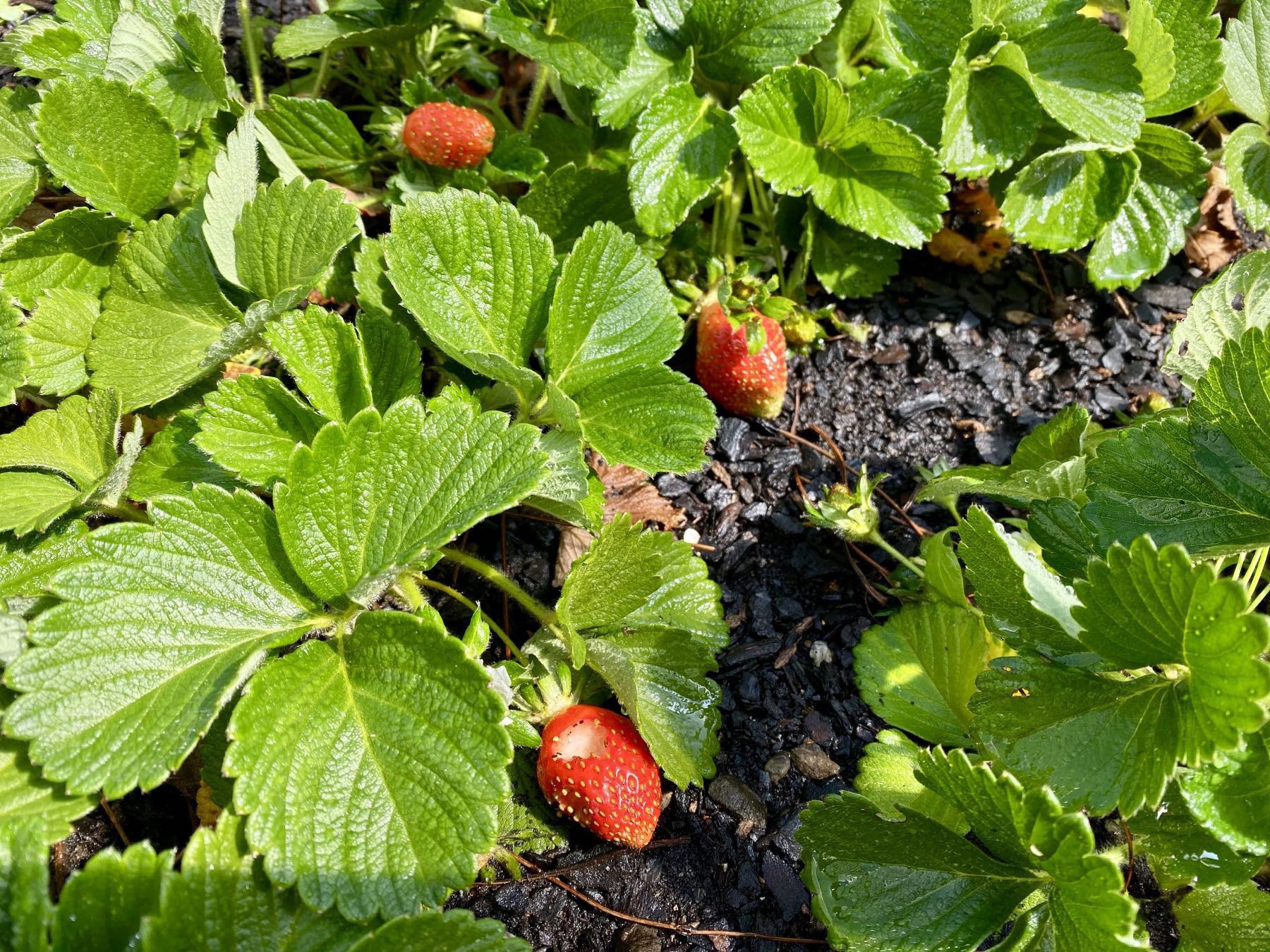 3 more or less ripe strawberries.