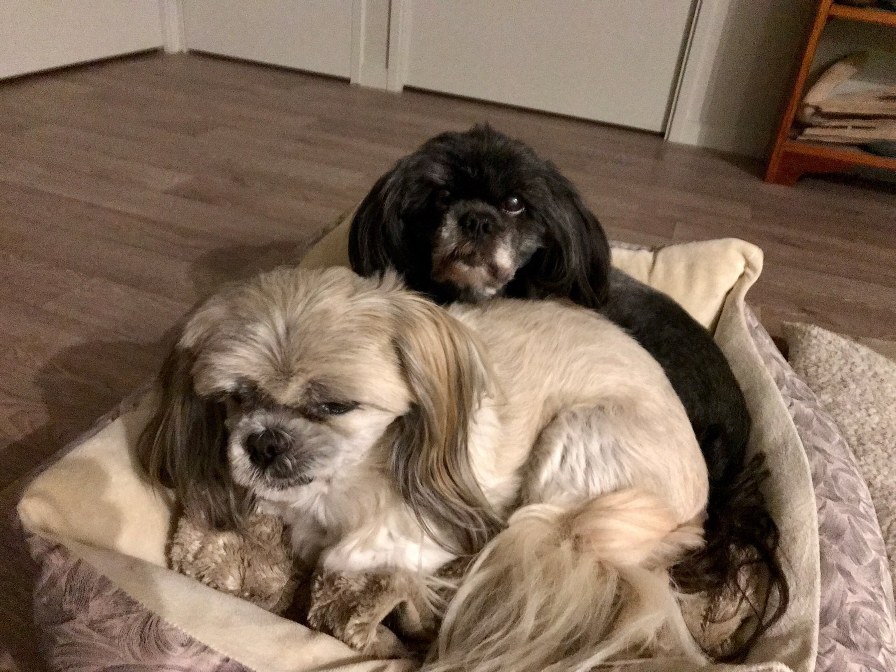 Two small dogs cuddled together in a bed.