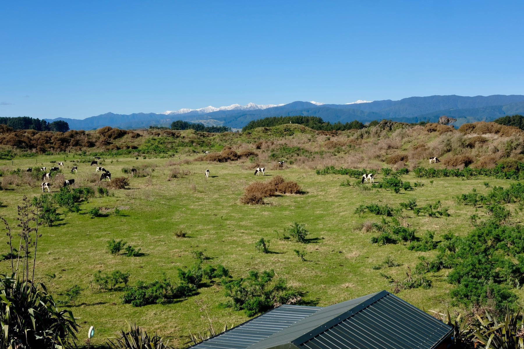 Cows grazing on green pasture with snowy peak mountains in the background.