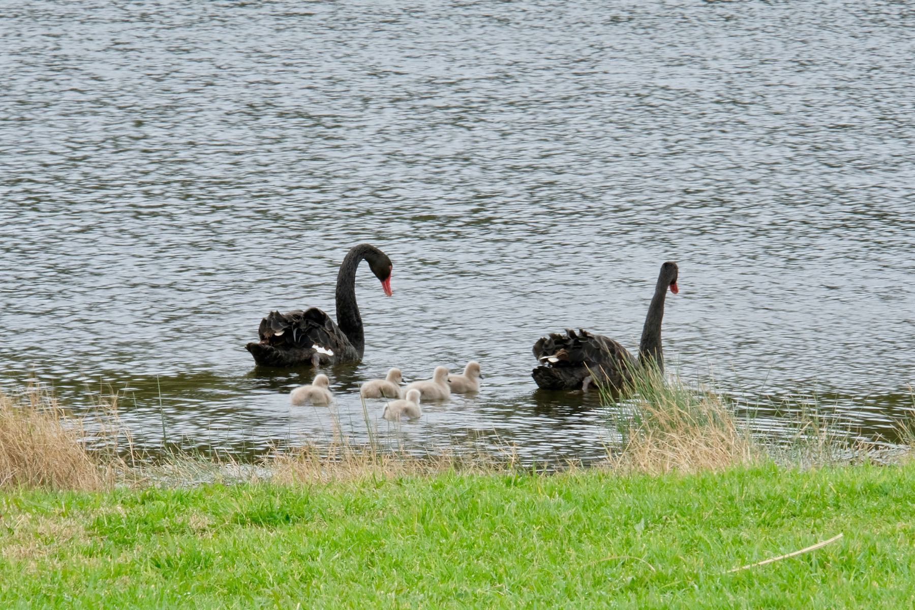 Adult swans on the lake with babies close behind.