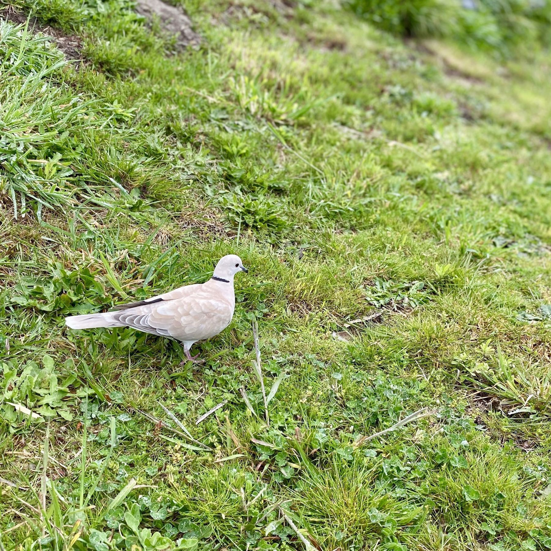 Small ring-necked dove.