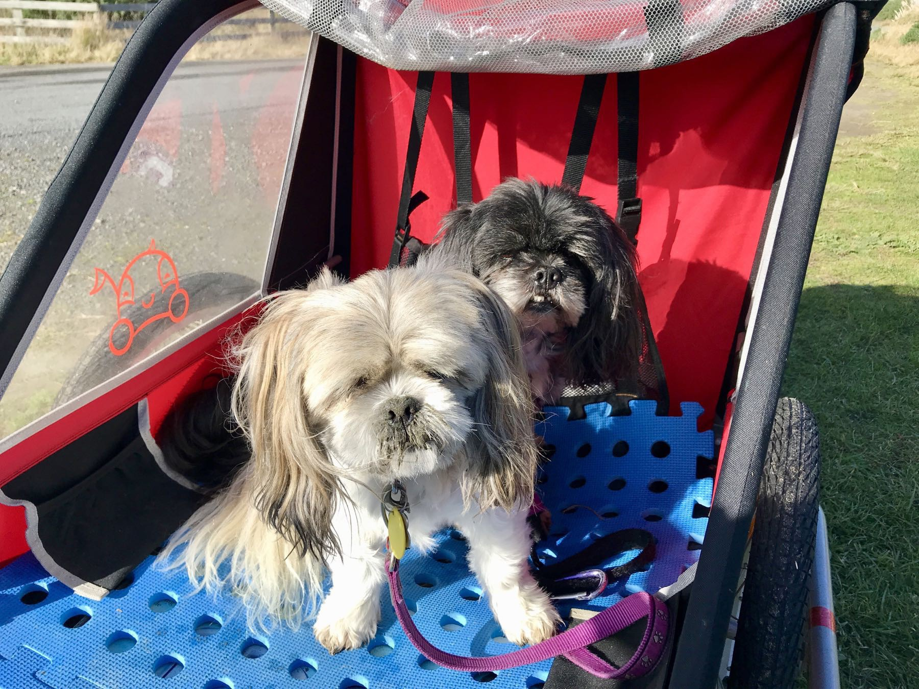 Two small dogs in a bike trailer.