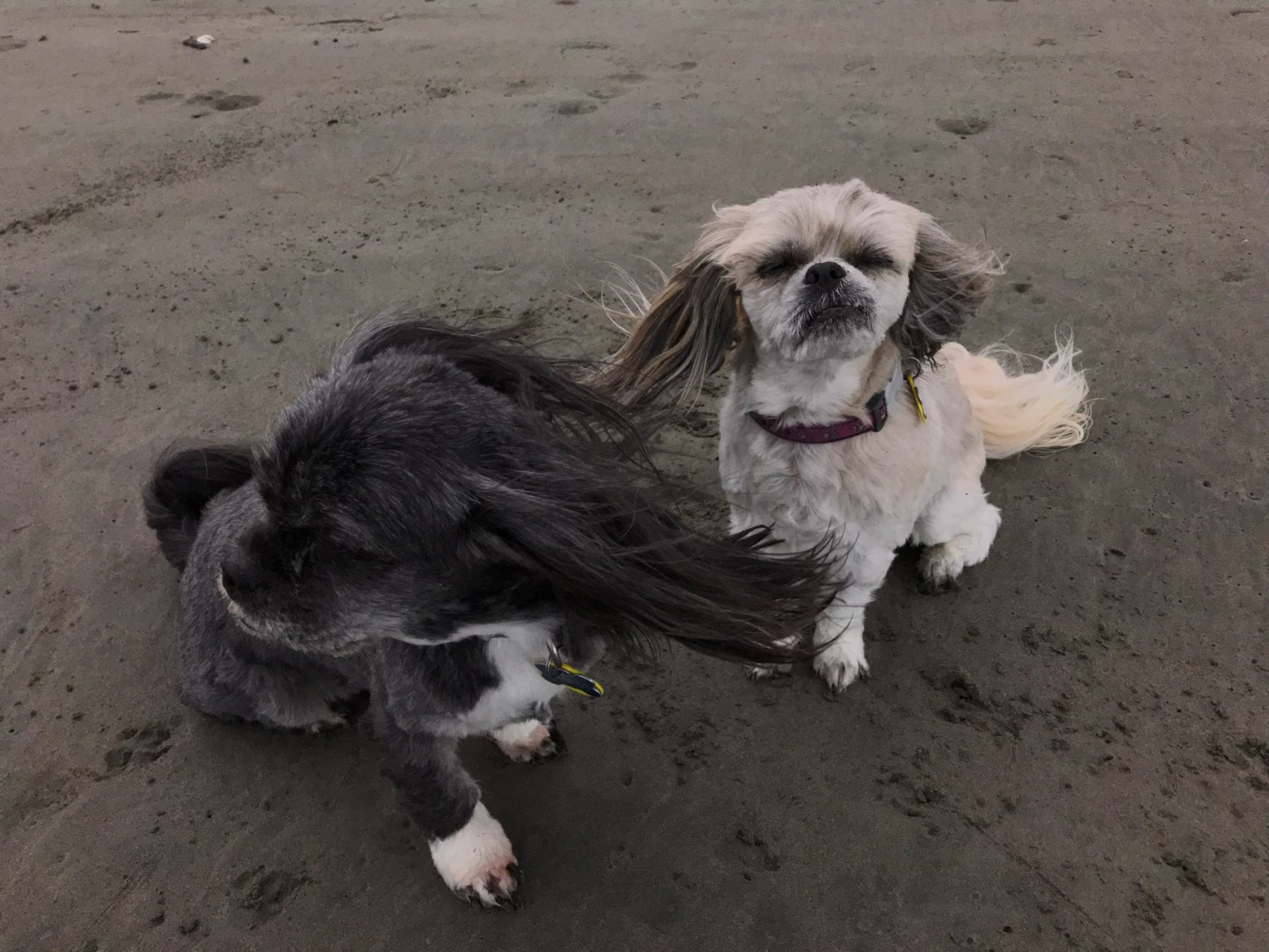 Small black dog and small white and tan dog on a dark sand beach.