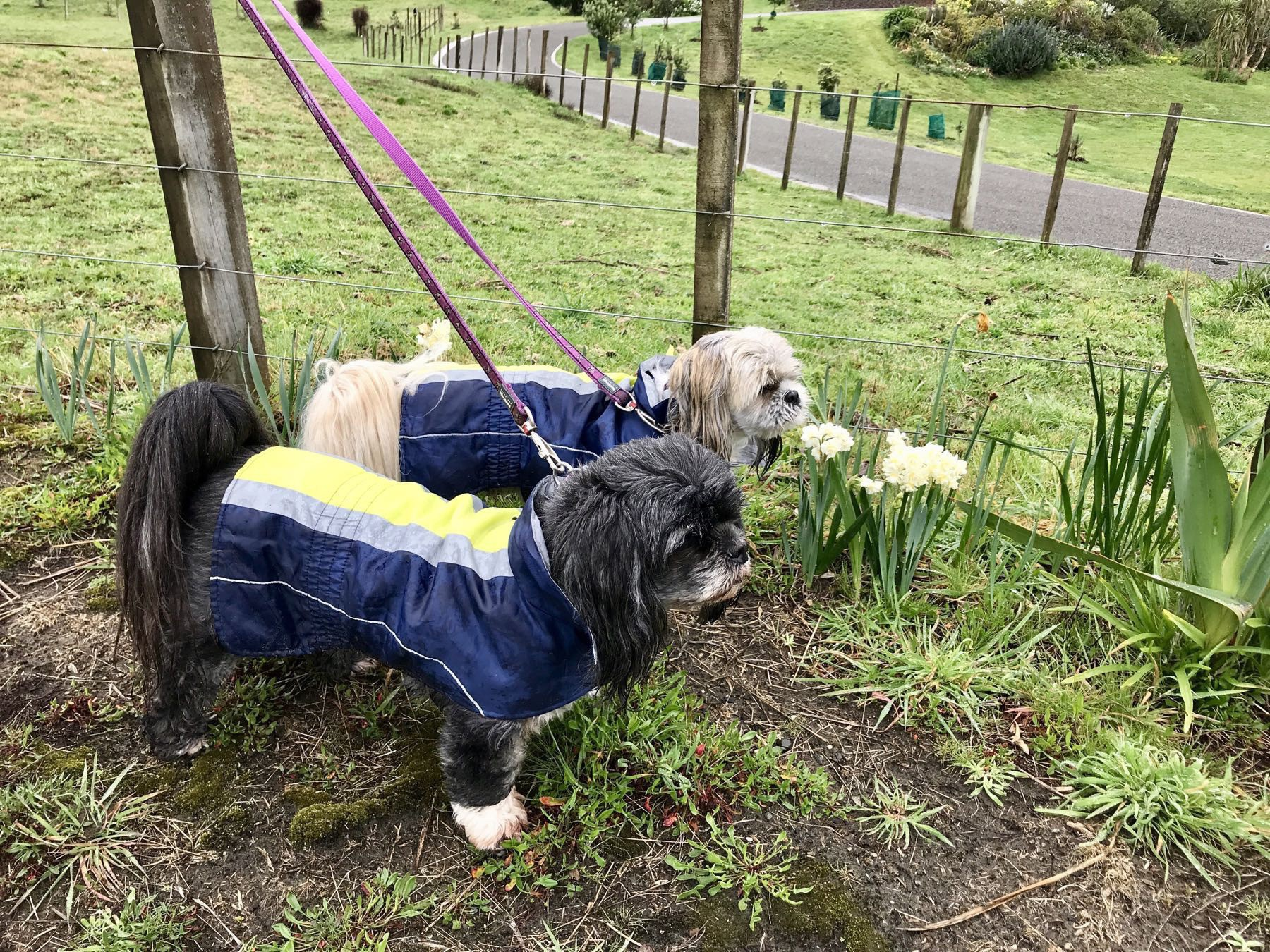 Two small dogs wearing blue and fluorescent yellow raincoats.