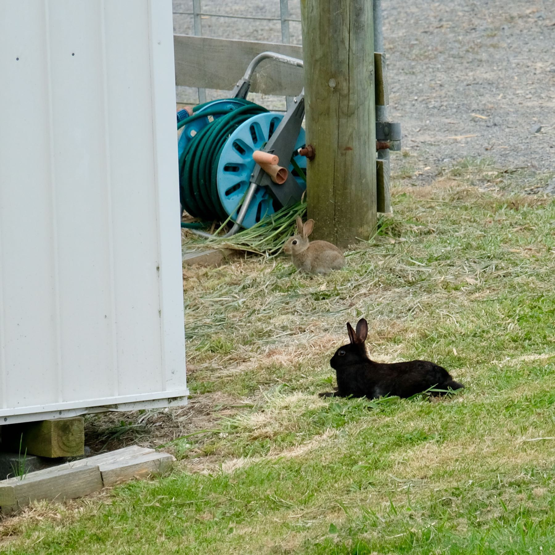 Brown baby rabbit and adult black rabbit lying on the grass.